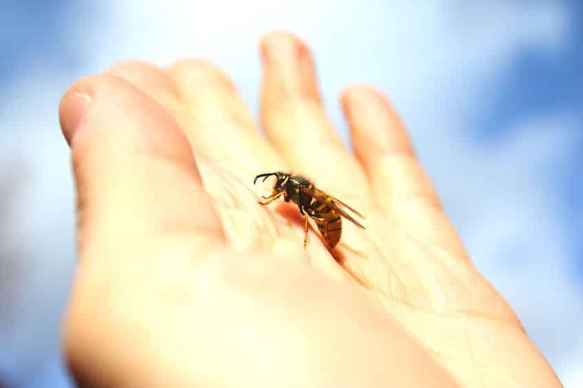 Piqûre d'hyménoptères: comment les éviter ou en guérir?